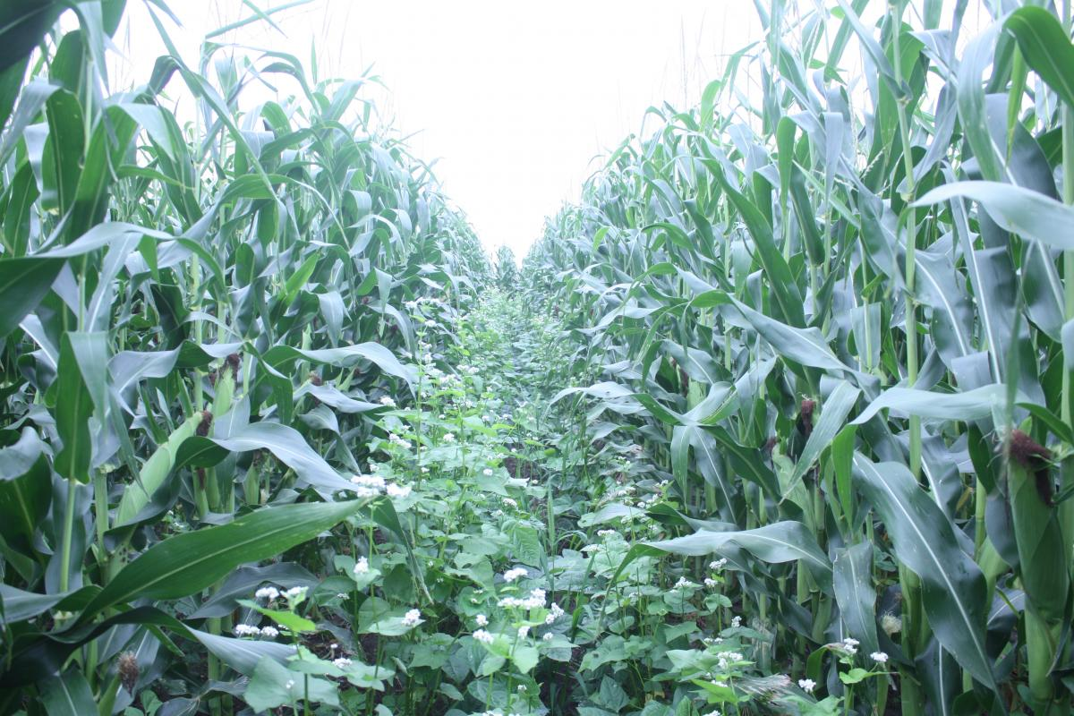Cover Crops and Corn