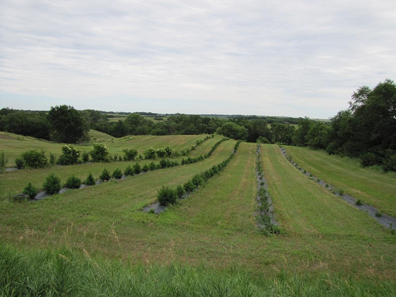 Picture of multiple rows of planted trees