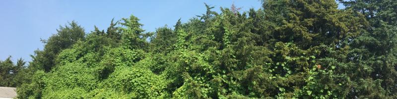 Native Cucumber Vine in Knox County.